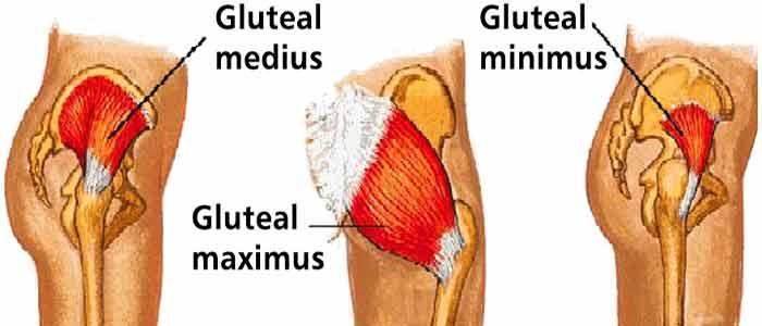 Gluteus Maximus Muscle Diagram