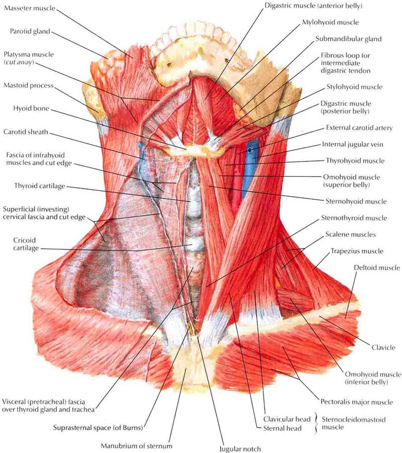 Upper Body Muscles That Cause Neck Pain Daily Bits Of
